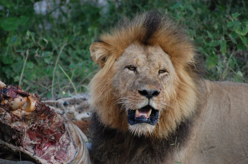 Lion after the kill